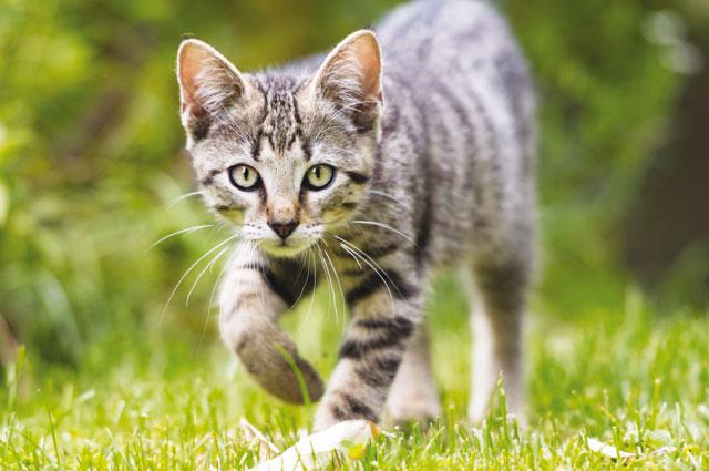 La memoria dei Gatti in questo caso un gatto europeo con passo felpato che si avvicina alla presda