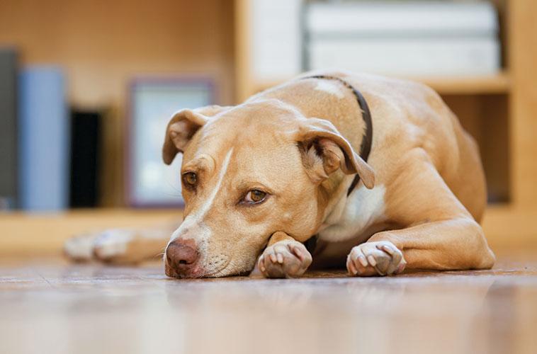 Cane con sguardo triste con sintomi di tremori