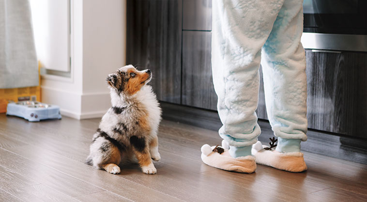 Cucciolo di pastore Australiano in attesa della pappa