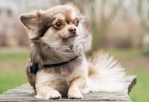 Splendido cucciolo di chihuahua