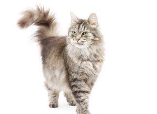salute articolare gatto