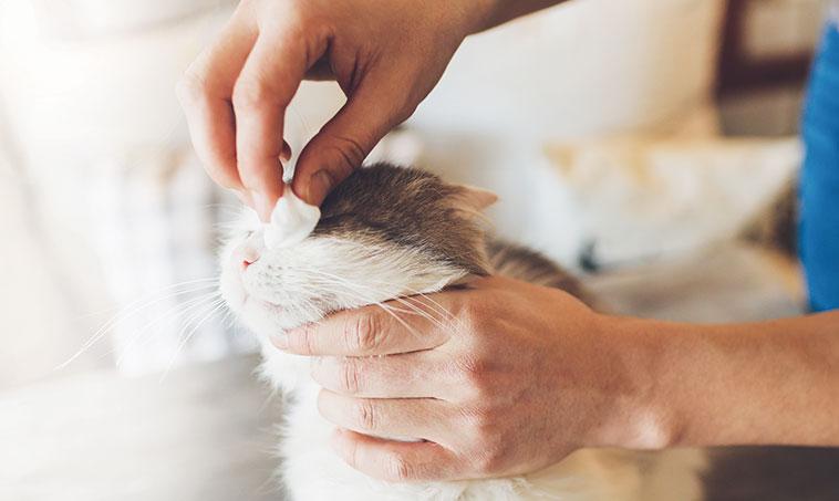 Pulizia degli occhi di un gatto