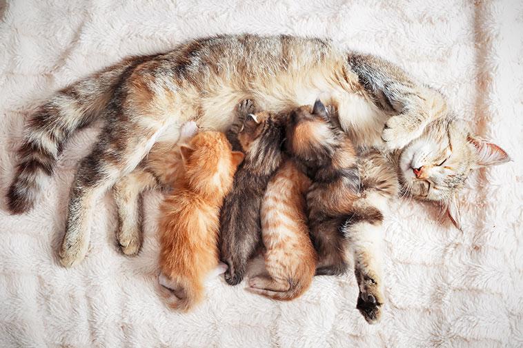 Gattina che allatta i suoi cuccioli