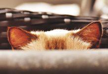 Gattino-spaventato-gli-si-vedono-solo-le-orecchie