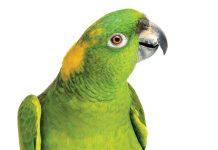 Alimentazione-pappagallo-