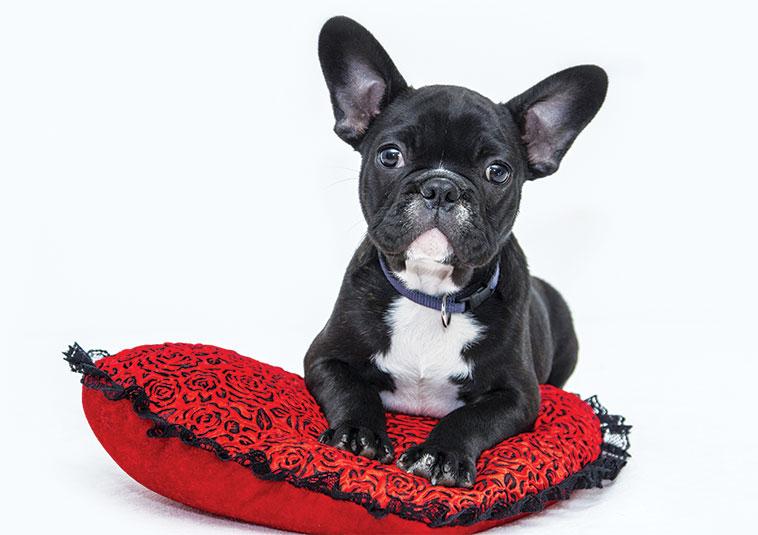 Bulldog cucciolo accomodato su un cuscino rosso