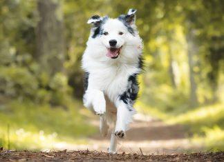 Border-collie-corre-nel-parco-in-pet-attivi