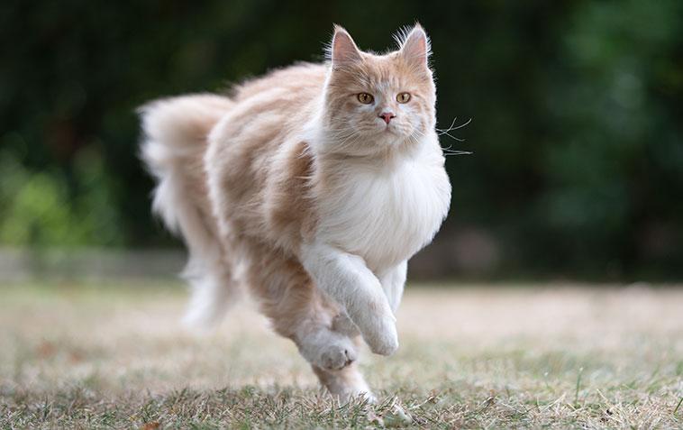 Bellissimo gatto bianco e rosso corre nel prato