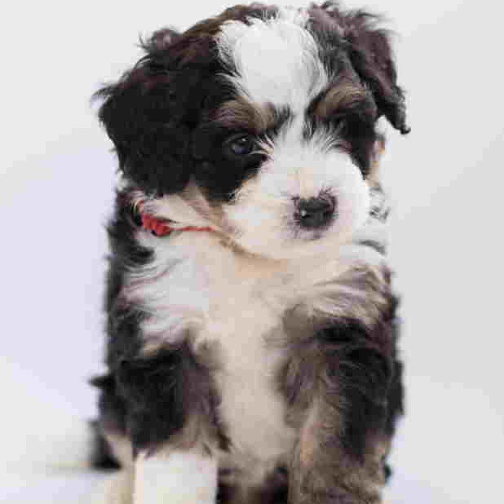 Bovaro del Bernese cucciolo