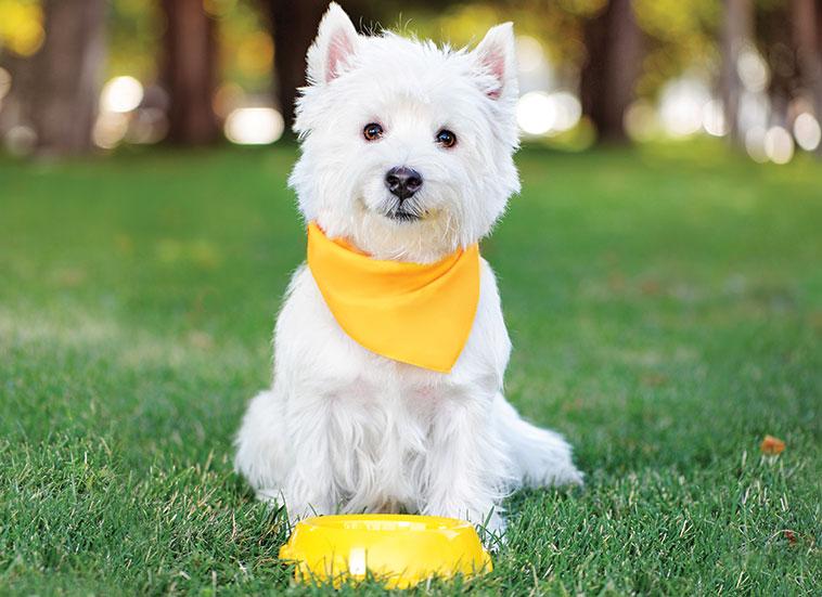 Cane bianco di razza westy con la sia ciotola