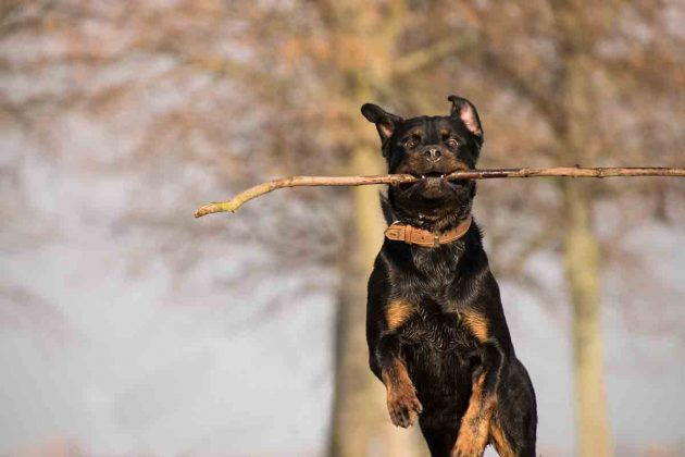 Rottweiler: scheda