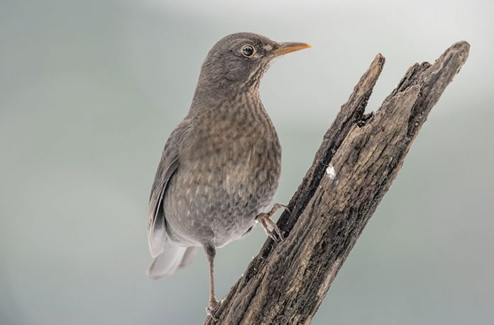 immagine-uccello-insettivoro-su-ramoscello