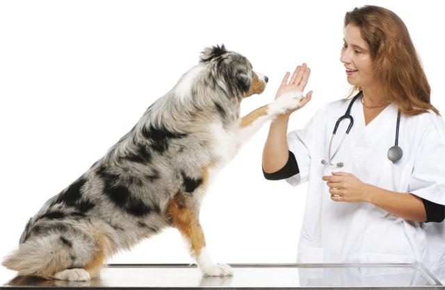 Cane Pastore Australiano che socializza con la veterinaria