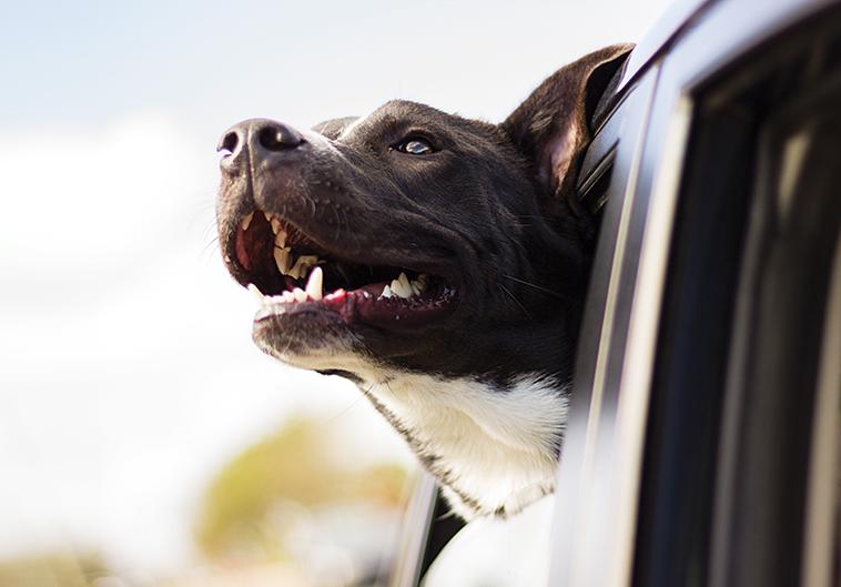 Cane viaggi sereni in auto