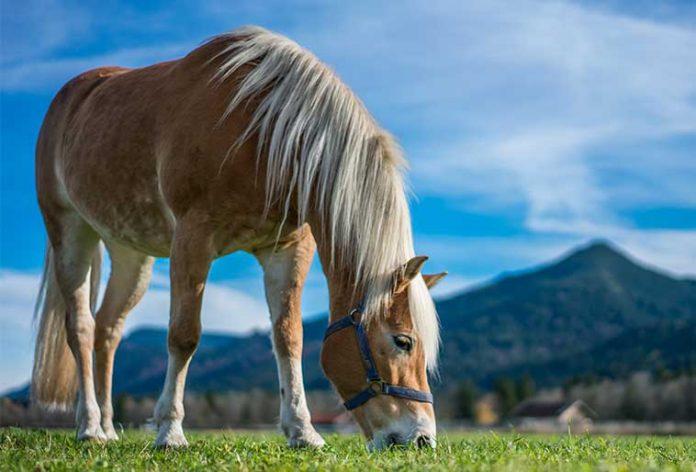 Cavallo-al-pascolo