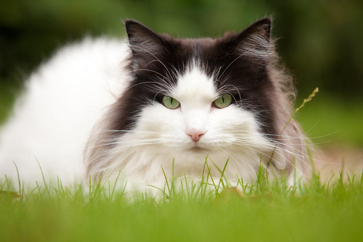 Gatto norvegese bianco e nero