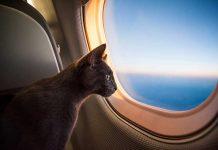gatto-in-aereo