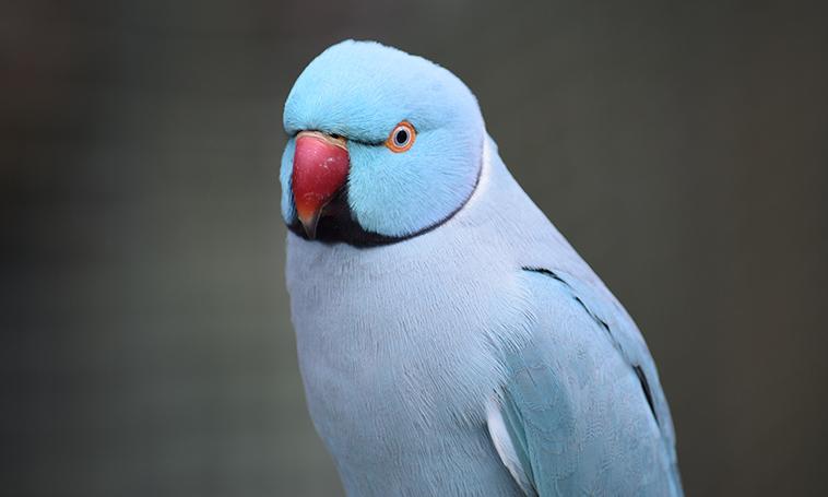 Foto di un pappagallo colore azzurro
