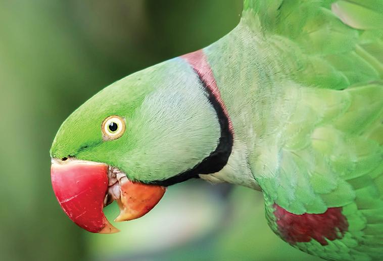 Pappagallo in primo piano colore verde