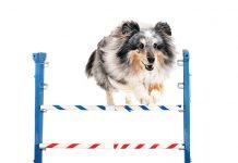 Salto-ostacoli-cane-sportivo