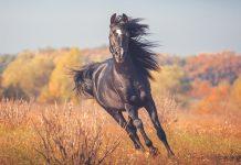 Cavallo Frizzante a galoppo