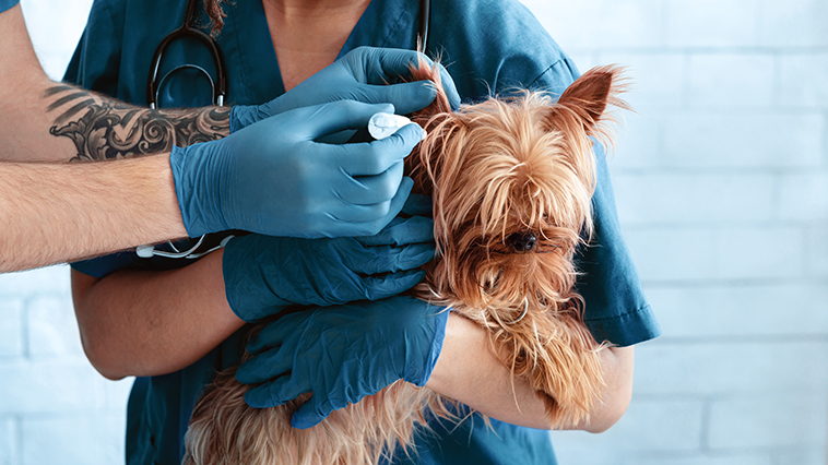 Veterinari per la pulizia delle orecchie di un cane