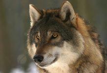 Il lupo e l'uomo Foto da Pixabay
