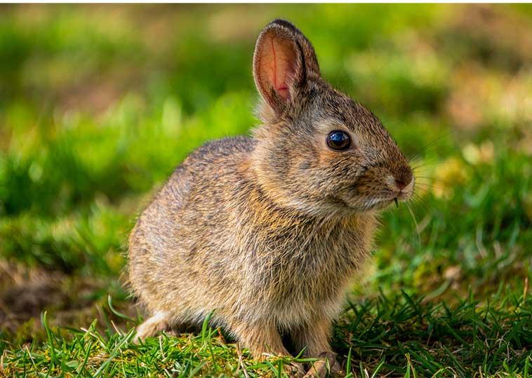 Splendido coniglio femmina nell'articolo apparato riproduttivo coniglio femmina